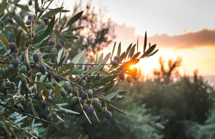 עץ הזית ועלי הזית: כל מה שצריך לדעת – אלטמן בריאות